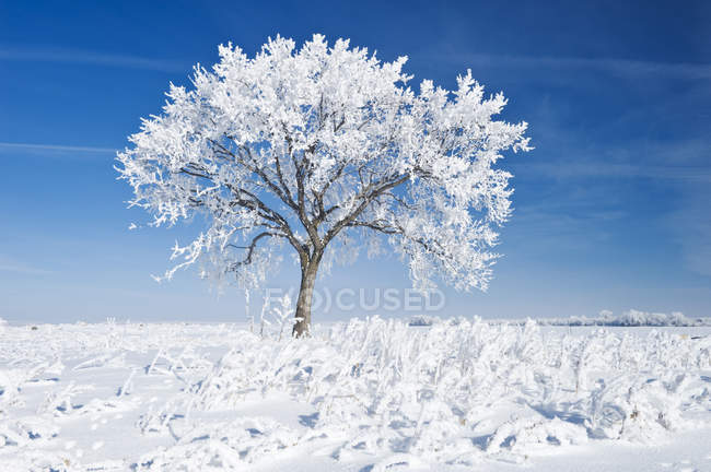 Frost covered tree in field near Beausejour, Manitoba, Canada — Stock Photo