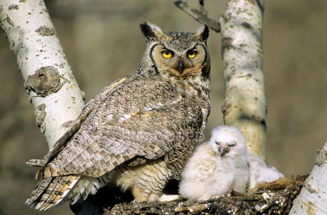 Grande gufo cornuto adulto e gufo situato nel nido . — Foto stock