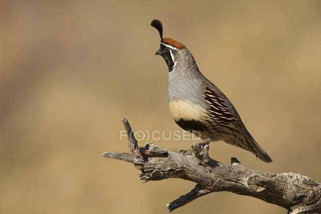 Gambels quail standing on dry tree branches — Stock Photo
