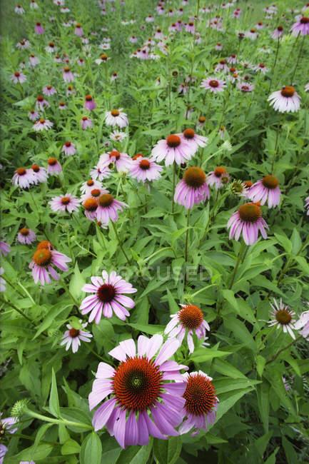 Gros plan sur les fleurs médicinales d'échinacée dans le jardin — Photo de stock