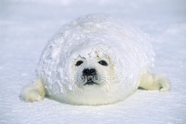 Filhote de foca, coberto de neve Duna após nevasca. — Fotografia de Stock