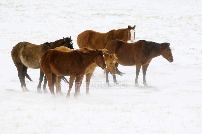Pferde auf der verschneiten Weide in Farmland von Alberta, Kanada. — Stockfoto