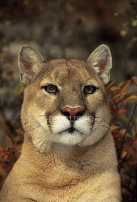 Портрет горного льва на открытом воздухе — стоковое фото
