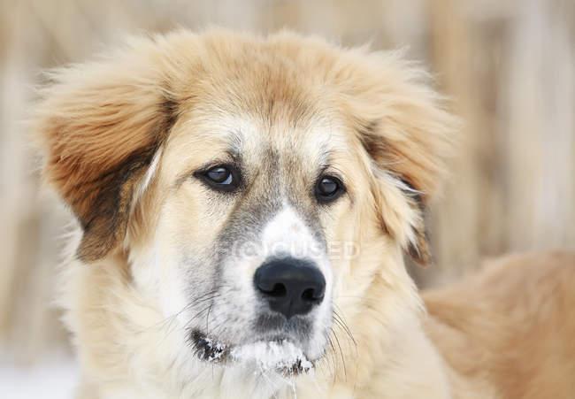 Великие Пиренеи собака на открытом воздухе зимой, портрет — стоковое фото