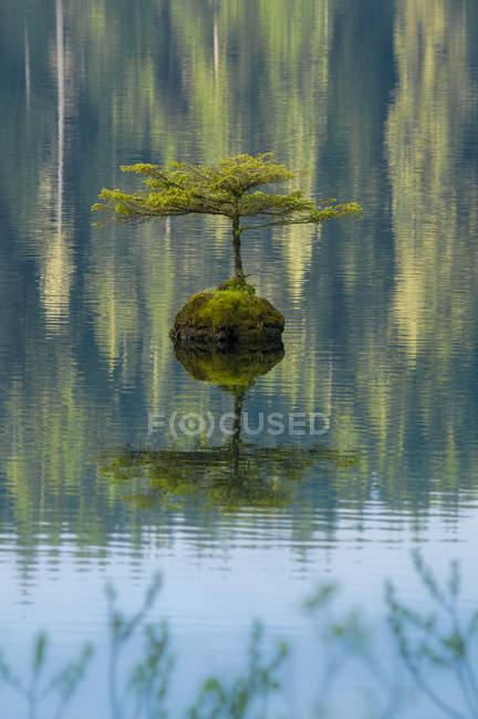Brotes de árboles pequeños de troncos hundidos en Fairy Lake, Vancouver Island, Columbia Británica, Canadá - foto de stock