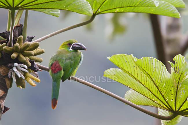 Toucanette cramoisi perché sur une branche en Équateur . — Photo de stock