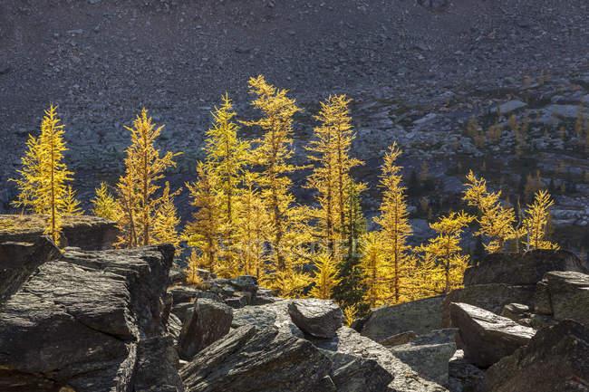 Árvores de larício alpino na folhagem outonal no lago Ohara em Parque Nacional de Yoho, Colúmbia Britânica no Canadá. — Fotografia de Stock