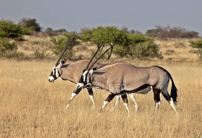 Gemsbok antelopes grazing in Central Kalahari Game Reserve, Botswana, Africa — Stock Photo