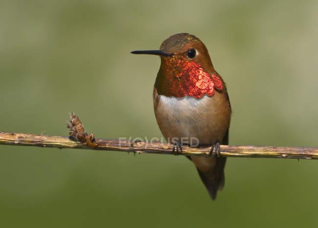Colibri roux perché sur une branche d'arbre à l'extérieur, gros plan . — Photo de stock