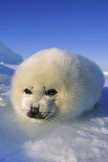 Close-up of harp seal lying on snow and looking in camera. — Stock Photo