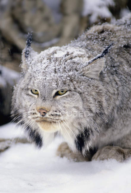 Lynx de neige couverte de fourrure, portrait — Photo de stock