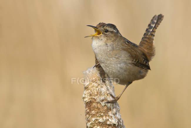 Pântano wren empoleirado em bullrush em pântano e cantando — Fotografia de Stock