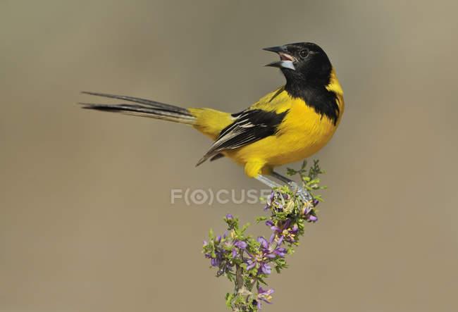 Audubons masculinos oriole cantando em poleiro florido — Fotografia de Stock