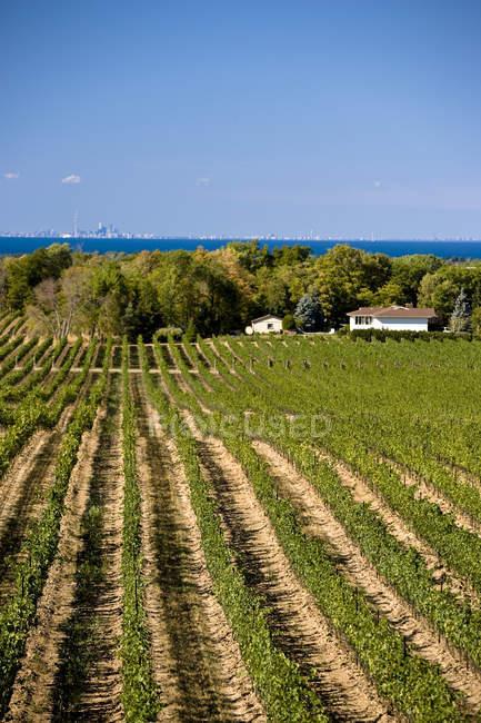 Виноградник в сельской местности с городом Торонто на заднем плане, Ниагара Пенни, Онтарио, Канада . — стоковое фото