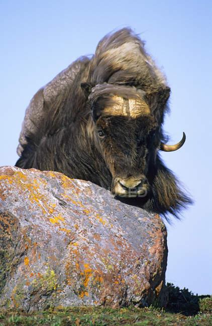 Bulle Muskox guckt von Felsen, Viktoria-Insel, Nunavut, arktisches Kanada — Stockfoto