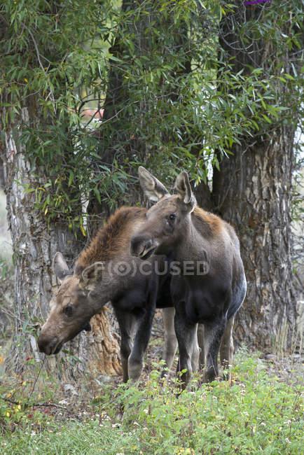 Giovane alce nella foresta del Wyoming, Stati Uniti — Foto stock