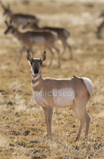 Антилопа Пронгхорн стоит на засушливой земле Нью-Мексико, США — стоковое фото