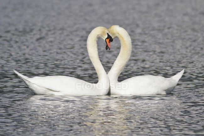 Cisnes mudos nadando en el estanque y haciendo forma de corazón con cuellos largos . - foto de stock
