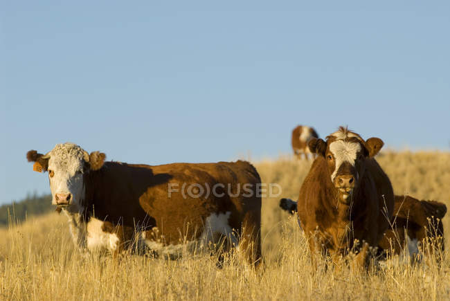 Grazing curious cattle in grassland in Kamloops, British Columbia, Canada. — Stock Photo