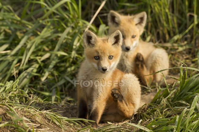 Kits de zorro rojo rayado en hierba verde prado. - foto de stock