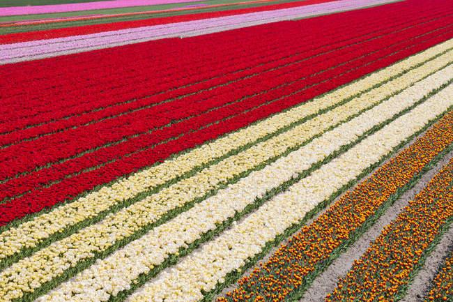 Modèle naturel de champ de tulipes colorées, Hollande-Septentrionale, Pays-Bas — Photo de stock