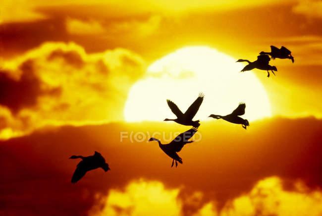 Стая Канада гуси, полета и посадки против закат в небе. — стоковое фото