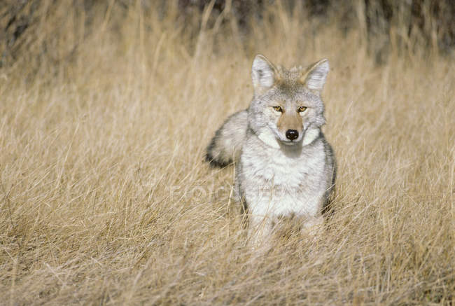 Caza del Coyote en el Prado en el Parque Nacional Jasper, Alberta, Canadá - foto de stock
