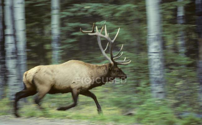 Elch mit Bewegung zu verwischen, im Wald von Alberta, Kanada. — Stockfoto