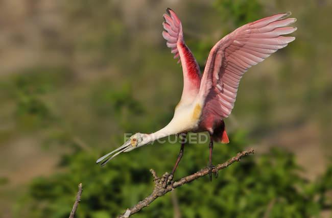 Roseate spoonbill in piedi su un ramo secco con ali spiegate. — Foto stock