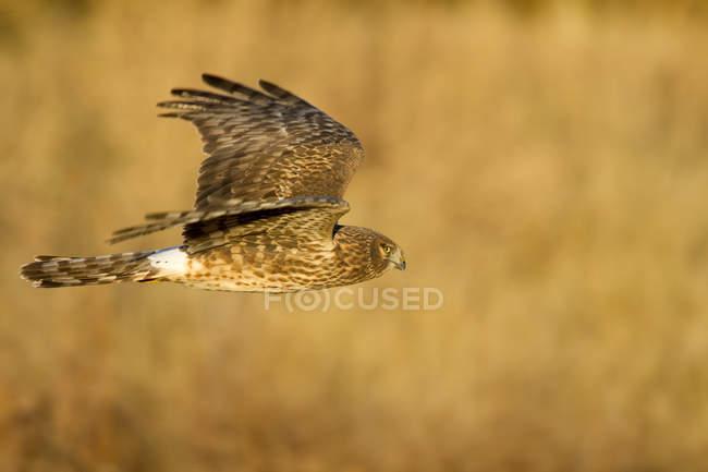 Circus cyaneus volare sopra la prateria con ali spiegate. — Foto stock