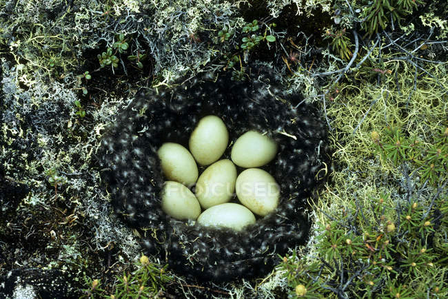 Découverte de nid de canard à longue queue, la toundra arctique, Churchill, Manitoba, Canada — Photo de stock