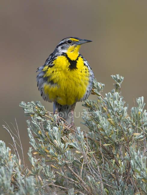Western meadowlark sentado em sálvia escova, close-up . — Fotografia de Stock