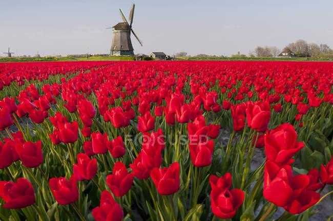 Ветряная мельница и красный тюльпаны поле возле Obdam, Северная Голландия, Нидерланды — стоковое фото