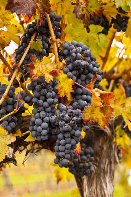 Cabernet Sauvigion grapes on vines ready for harvest, close-up. — Stock Photo