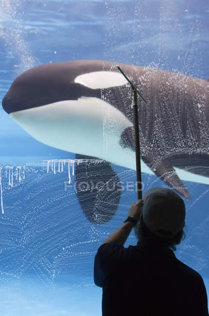 Orca im Marineland mit Mitarbeiter beim Fensterwaschen, Niagarafälle, Ontario, Kanada. — Stockfoto
