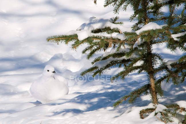 Willow ptarmigan sitting in white snow under fir tree. — Stock Photo