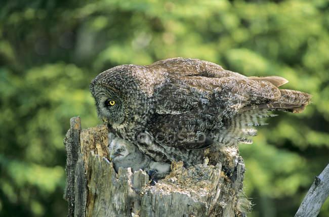 Взрослые серые совы и совы гнездятся на пне тополя . — стоковое фото