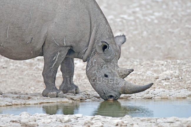 Rinoceronte negro en peligro de extinción el agua potable en Parque Nacional de Etosha, Namibia, Sudáfrica - foto de stock