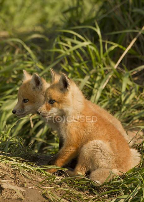 Kits de red fox sentado en la hierba de prado verde. - foto de stock