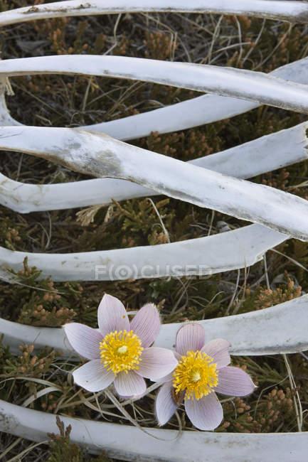 Präriekrokusse und Brustkorb im Bogental Provinzpark, Alberta, Kanada — Stockfoto