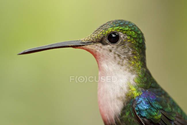 Colibrí woodnymph de corona verde, retrato de cerca . - foto de stock
