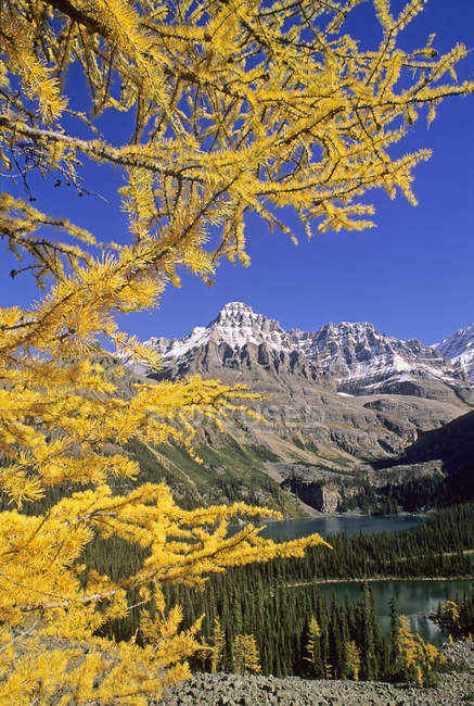 Alpine larches in autumnal scenery with lakes and mountains in Yoho National Park, British Columbia, Canada. — Stock Photo