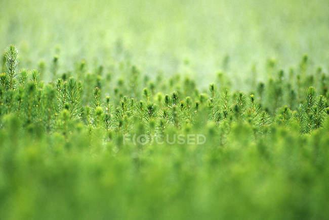 Spruce tree seedlings in nursery, close-up — Stock Photo