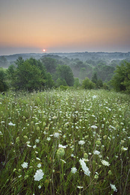 Wild carrot flowers in meadow of Short Hills Provincial Park, Saint Catharines, Ontario, Canada — Stock Photo