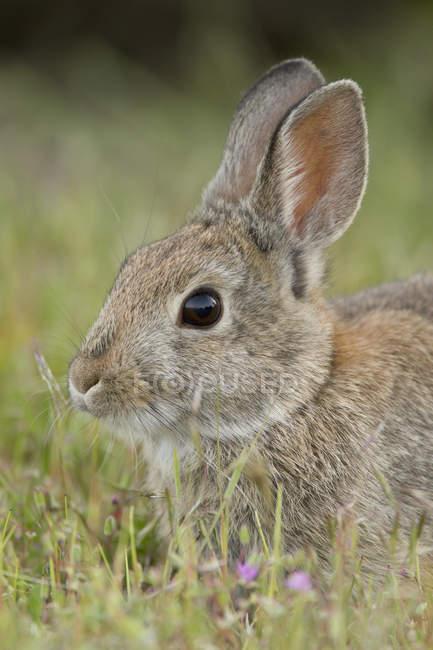 Гора американские кролик в Оканаган, Канада — стоковое фото