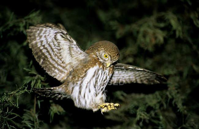 Северный воробьиный сыч в полете, посадка в тропический лес — стоковое фото