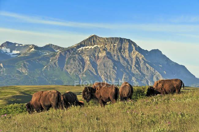Herd of plains bisons in alpine meadow of Waterton Lakes National Park, Alberta, Canada — Stock Photo