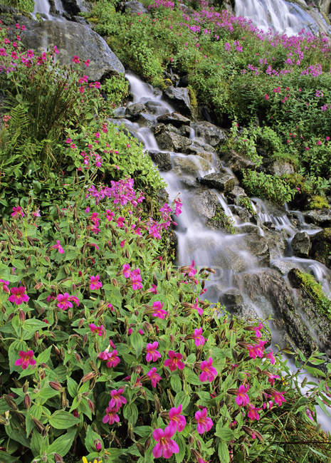 Lewis monkeyflowers growing by stream in Joffre Provincial Park, British Columbia, Canada — Stock Photo