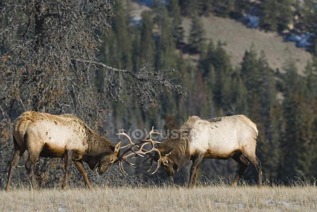 Alces toros luchando por el dominio durante la temporada de apareamiento en el prado del Parque Nacional Jasper, Alberta, Canadá . - foto de stock