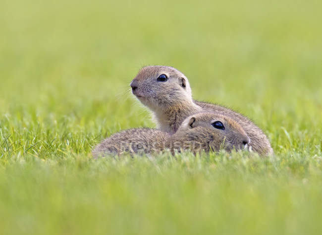 Ground squirrels resting in grass by burrow, close-up — Stock Photo